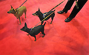 ©London News pictures. 10/03/11. A group of Minature Pinschers watch their owner on a red carpet. Exhibitiors and their dogs at Crufts 2011 held at The National Exhibition Centre in Birmingham today (Thurs). The show runs from 10 - 13 March 2011 Picture Credit should read Stephen Simpson/LNP