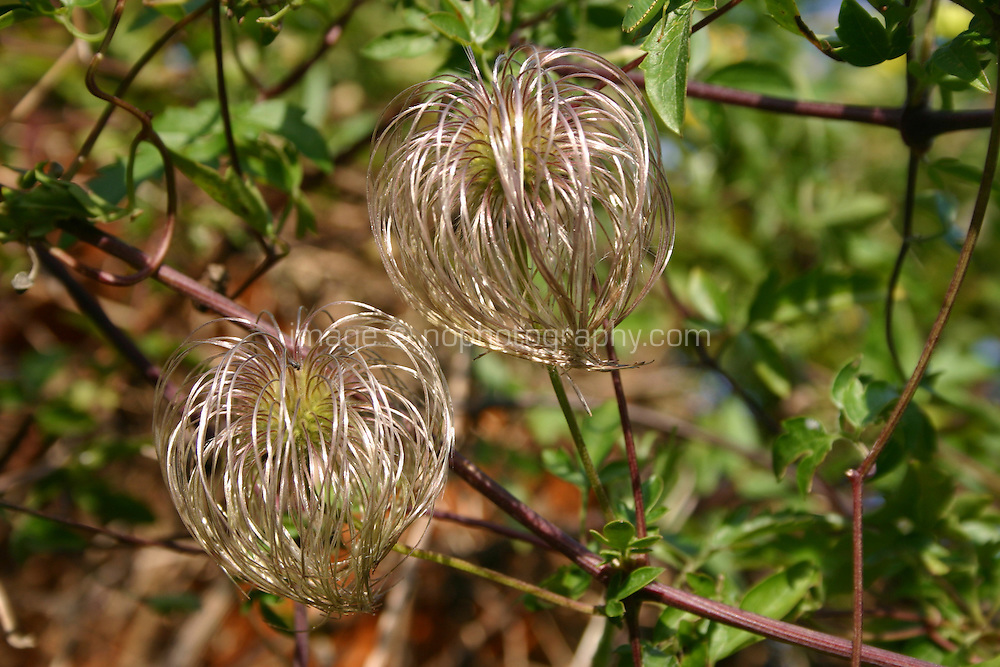 Clematis climbing plant growing in an Irish garden