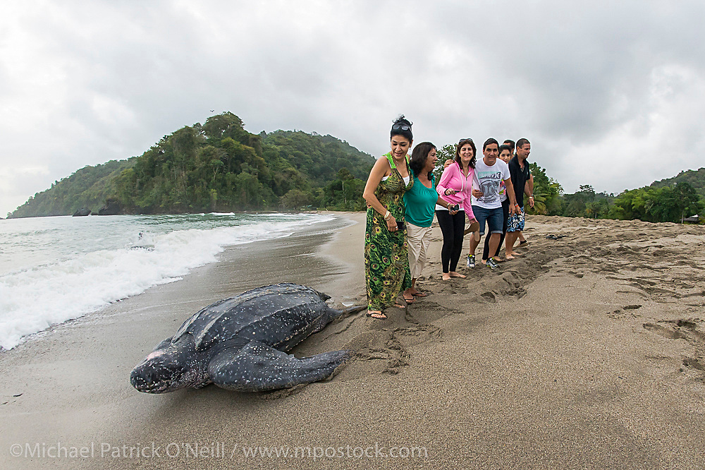 Tourists pose for a photograph while a female Leatherback Sea Turtle, Dermochelys coriacea, returns to the ocean after nesting at sunrise in Grande Riviere, Trinidad.
