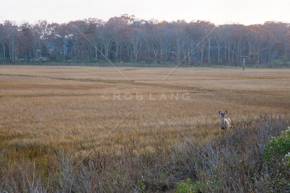 lone deer walking in the wetlands of The Hamptons
