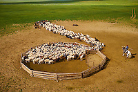 Mongolie, Province de Tov, campement nomade, troupeau de mouton sortant de l'enclos // Mongolia, Arkhangai province, nomad camp, sheep herd leaving the stockyard
