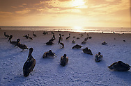 USA, Vereinigte Staaten von Amerika: Braunpelikan (Pelecanus occidentalis), Gruppe rastet am späten Nachmittag am Strand, Indian Shores, Florida, USA. |  USA, United States of America, Florida, Indian Shores: A group of Brown Pelicans (Pelecanus occidentalis) is resting on the beach in late afternoon. |