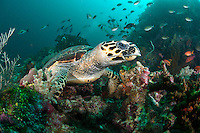 Hawksbill Turtle foraging amongst soft corals and sponges...Shot in Indonesia