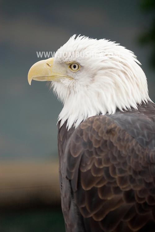 Bear Mountain, New York - A captive bald eagle at the Bear Mountain Zoo on in Bear Mountain State Park on Feb. 20, 2007.