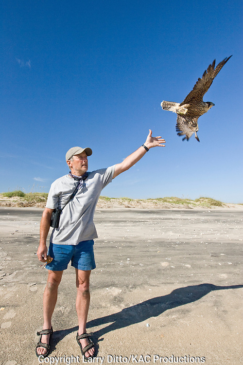 biologist, Mark Prostor, releasing a young peregrine falcon during the Padre Island Peregrine Falcon survey, autumn, south Padre Island, Texas