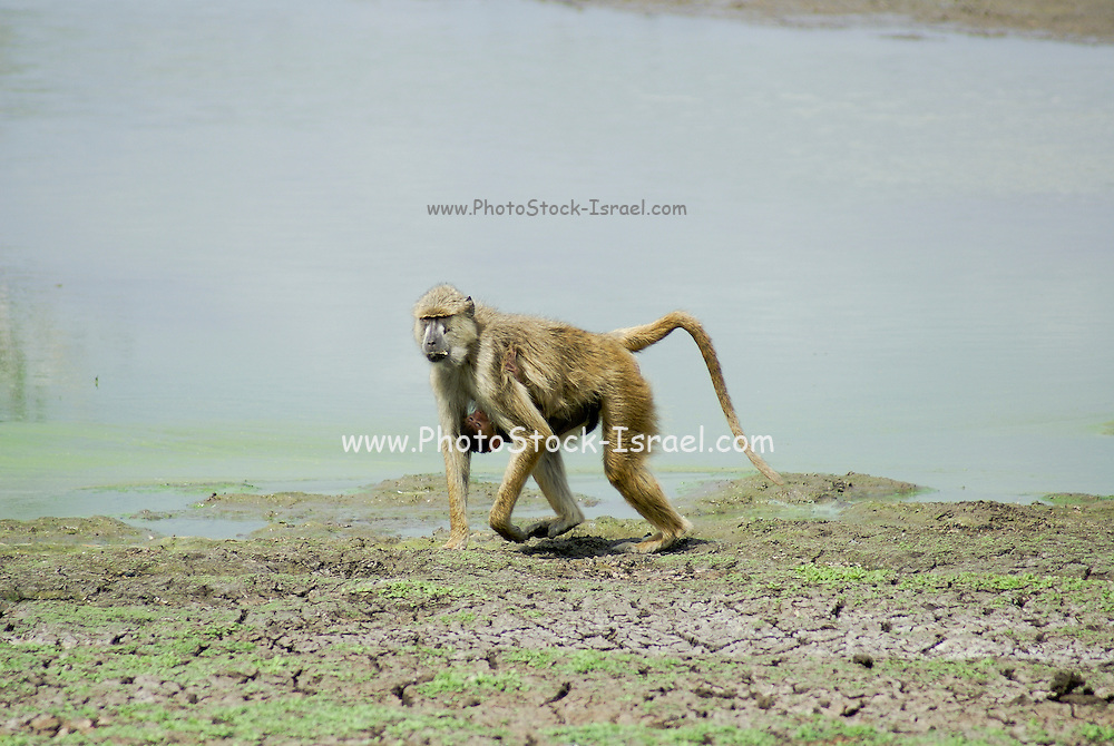 Africa, Tanzania, Female Olive Baboon (Papio anubis) carries baby
