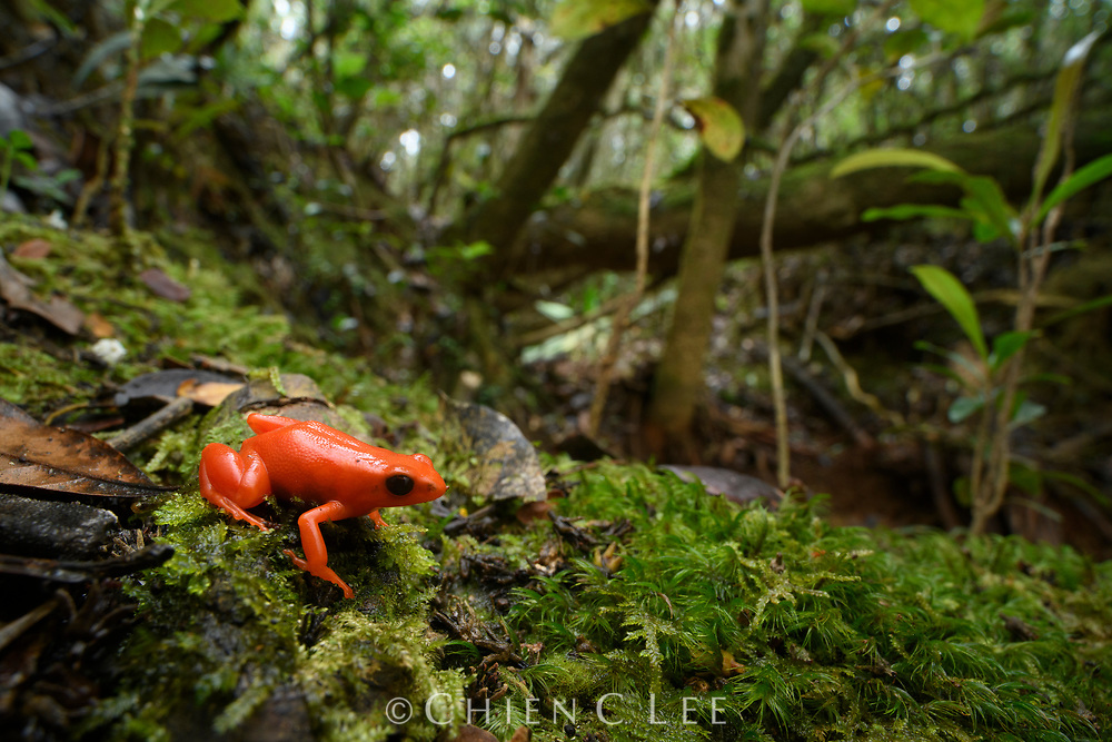 Without seeing it move, you could almost mistake the Golden Mantella (Mantella aurantiaca) for a bright orange plastic toy. This is one of Madagascar's most endangered amphibians and is an icon for conservation of the island's threatened wildlife. Efforts targeted at protecting this frog's habitat, coupled with ex-situ breeding programs and reintroduction have helped to protect it from extinction in the wild, but it remains critically endangered and is still known to exist at only two small isolated patches of rainforest.