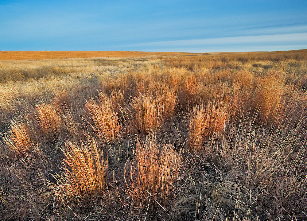 Bunches of Bluestem grass take on a orange brown color in winter, western Kansas