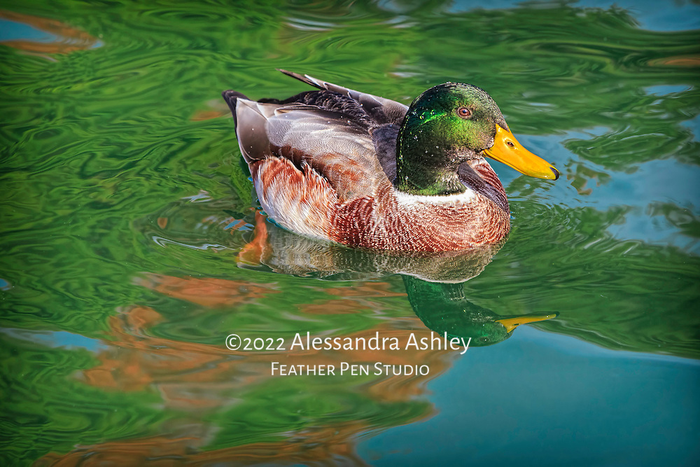 Mallard drake shows off vibrant feather coloration amid complementary autumn foliage reflections in pond. Garden setting, central Ohio.