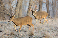 A small whitetail buck leaves a field as a large buck arrives.