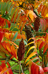 Rhus typhina in autumn colour<br /> Stag's horn sumach, Velvet sumach