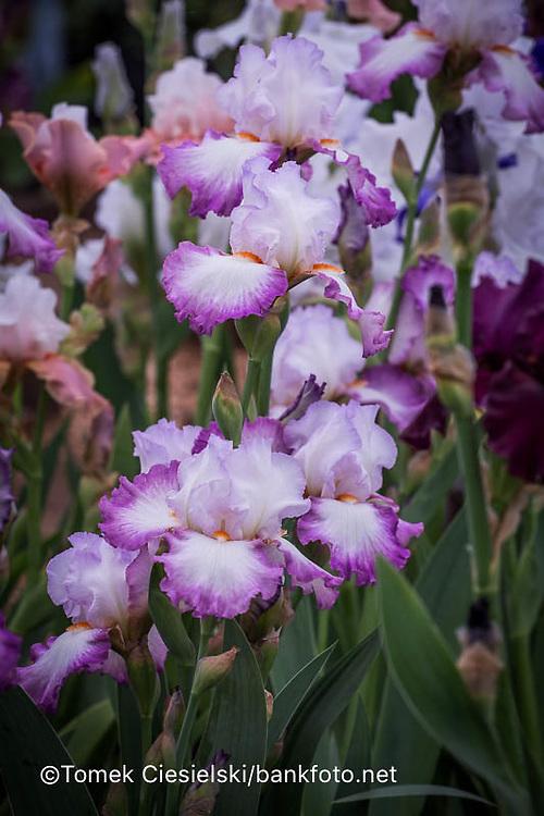 Iris 'Ravissant' , Cayeux 2007