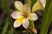 Cream Fresia - Tasmania