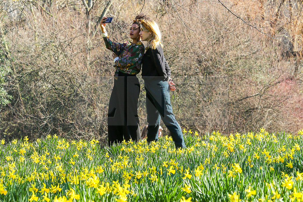 © Licensed to London News Pictures. 23/02/2019. London, UK. Women takes selfie with the daffodils in St James's Park during unseasonably warm weather in the UK. The spell of warm weather is set to bring temperatures this weekend close to the record for February. Photo credit: Dinendra Haria/LNP