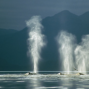 The lighting for photographing humpback whales in Southeast Alaska is unique, with a backdrop of snowy peaksmountains and forest-clad mountains frequently cloaked in wisps of ethereal mist, the rainbows There was commonly extensive cloud cover but any chinks of light that were able to break through the gloom seemed to highlight the outline of the whales and illuminate their plumes of transitory breath. The effect was even more pronounced when they were set against a backdrop of dark, forested mountains.<br />