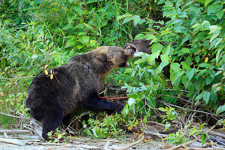 Grizzly bears mouthing each other in aggressive display, Great Bear Rainforest in British Columbia
