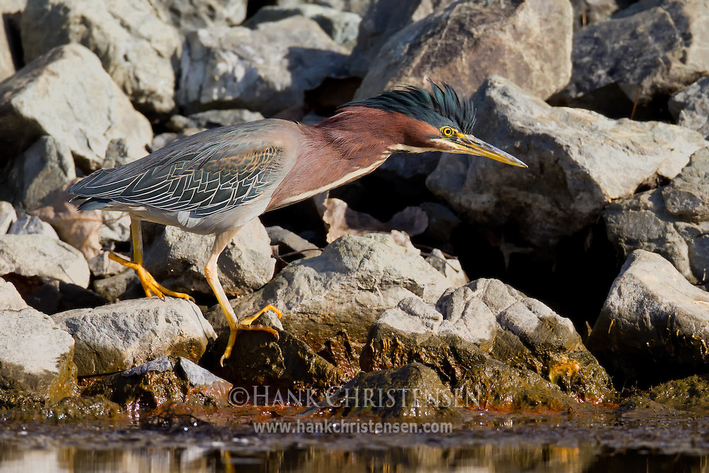 A green heron walks along the rocky shore of a water channel