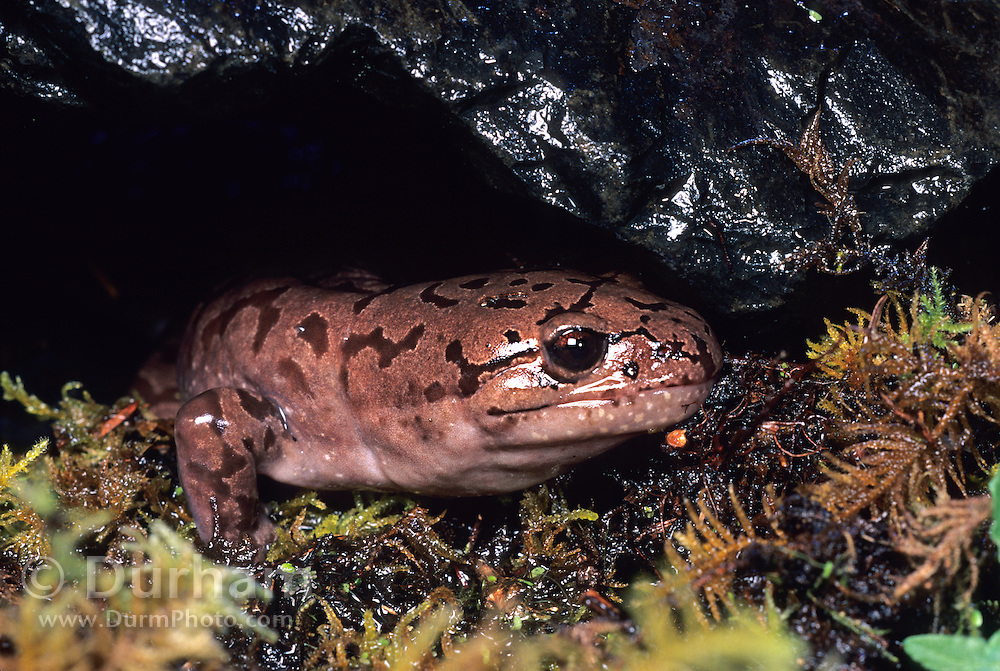 A Pacific Giant Salamander (Dicamptodon ensatus) terrestrial adult emerging from under a rock. captive, Oregon