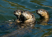 NEWS&GUIDE PHOTO / PRICE CHAMBERS.As they move downstream, three river otters surface in the Yellowstone River on Sept. 23. A relative of the sea otter, the mammal is also a relative of the weasel and shares that animal's thick fur, which insulates it against Yellowstone's icy winter.