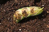 Rustic Sphinx Moth Caterpillar, Manduca rustica, burying itself underground to pupate under its host tree;  Sonoran Desert, Arizona