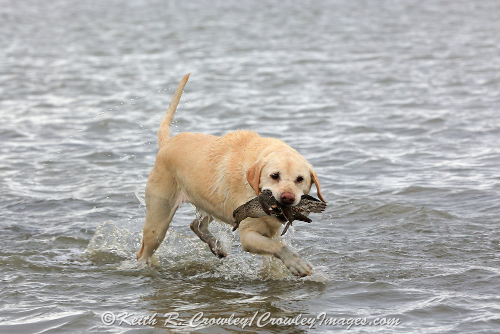 A Yellow Labrador Retriever brings back a Green-winged teal during a Manitoba hunt.