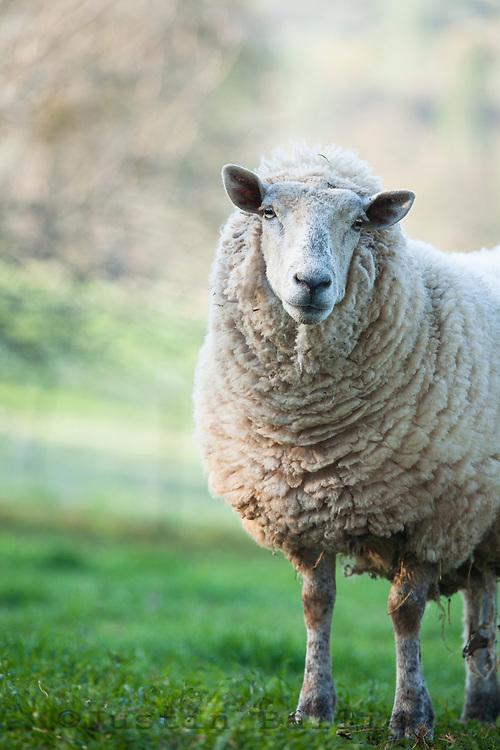 Momma sheep on a farm.