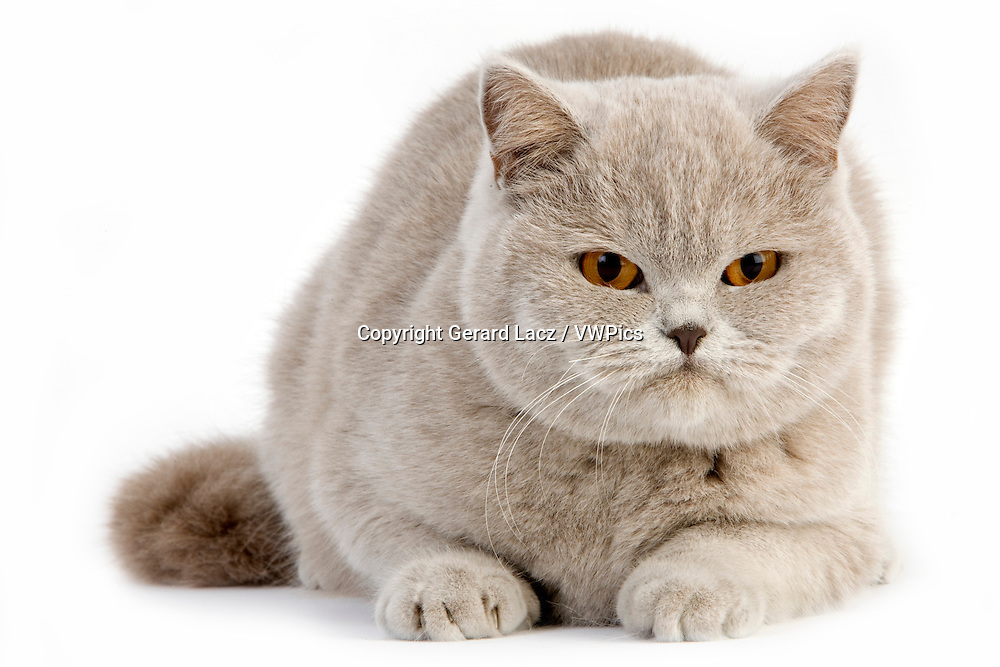 Lilac British Shorthair Domestic Cat, Female against White Background