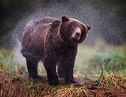The Alaskan brown bear was wet - really wet as it was raining and he had just been trying to catch a fish in the river that he standing on the bank of. The shaking didn't help him dry in the wet conditions, but at least it lightened the water weight he carried.