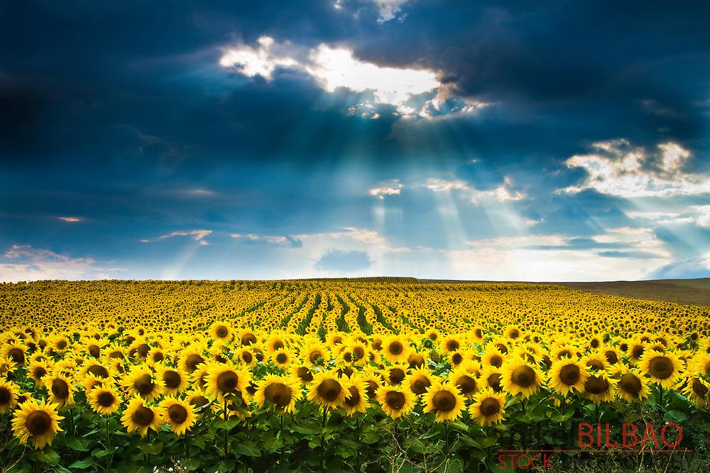Sunflower ( Helianthus annuus) field and overcast sky. Pancorbo,  Burgos, Castile and leon, Spain.