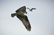Ospreys circling above Dash Point State Park - Federal Way, WA