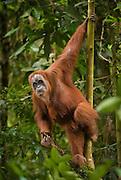 Sumatran orangutan hangs on a sapling, Bukit Lawang, North Sumatra