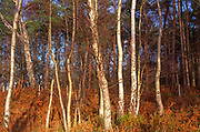 A07XG6 Silver birch Suffolk Sandlings England