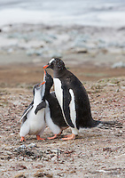 Baby chicks try to encourage feeding from an adult Gentoo Penguin (Pygoscelis papua)  Saunders Island, Falkland Islands