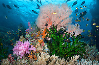 Unicornfishes school above a colorful coral head.<br /> <br /> Shot in Indonesia