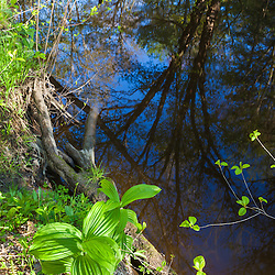 False hellebore on the banks of the Oyster River as it flows through a forest in Durham, New Hampshire.