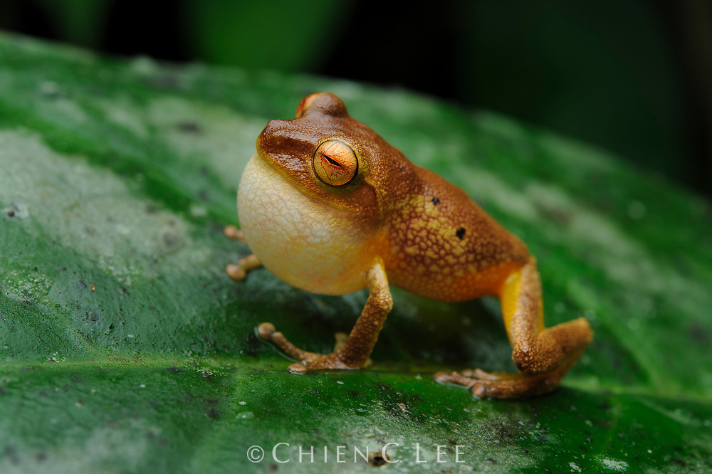 A tiny bush frog (Philautus erythrophthalmus) calls from its perch in the Bornean rainforest. Sarawak, Malaysia.