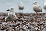 UK, September 18 2011: Gulls stand on the pebble beach at Budleigh Salterton. Copyright 2011 Peter Horrell