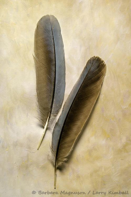 Pinyon Jay [Gymnorhinus cyanocephalus] feathers, detail; Fremont County, Colorado