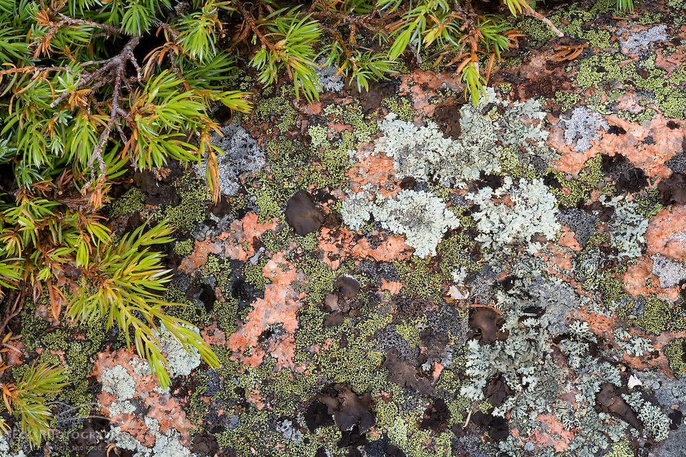 Bar Harbor Juniper and pink Cadillac Granite covered in lichens on Conners Nubble in Maine's Acadia National Park.