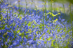 © Licensed to London News Pictures. 14/05/2019. Llandrindod Wells, Powys, Wales, UK. Blooming later in Mid Wales than most of the UK, Bluebells now bring a blaze of colour to a wood near Llandrindod Wells in Powys, Wales, UK. Photo credit: Graham M. Lawrence/LNP