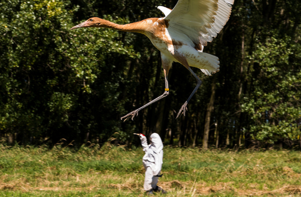 As the Whooping Crane grow and mature they fly further distances away from the costumed aviculturists.