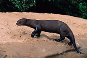 Giant Otter on beach<br />