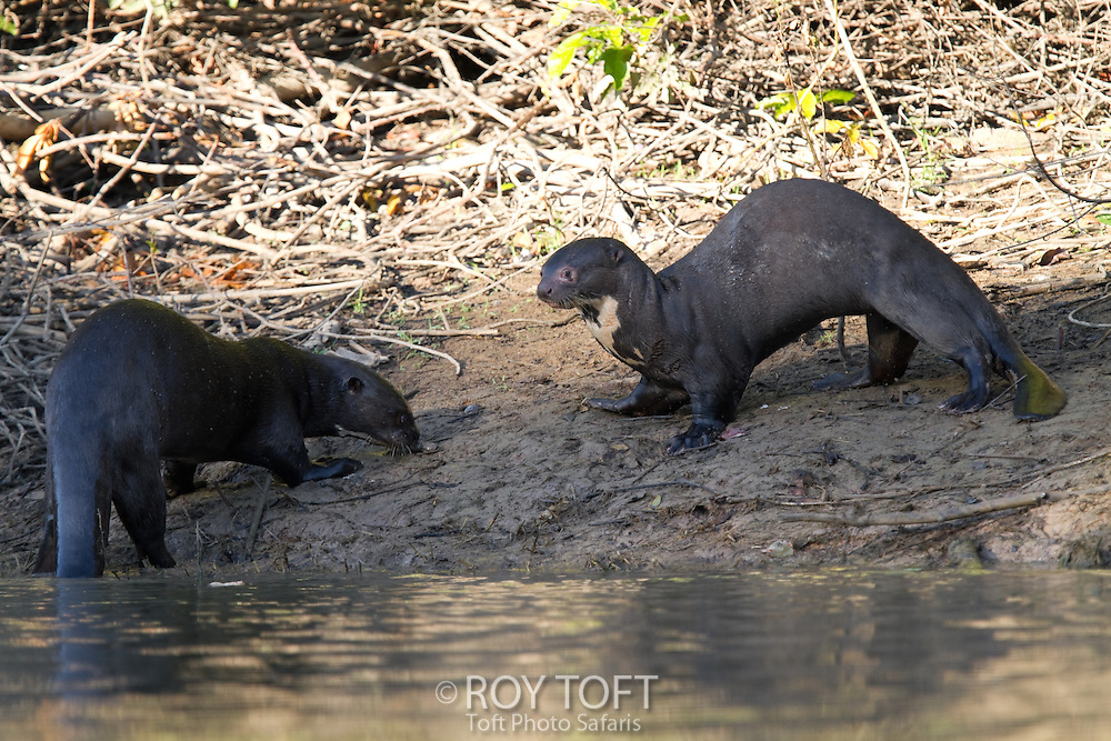 Giant otter (Pteronura brasiliensis) eating fish, Pantanal, Brazil