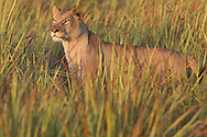 Female African lion (Panthera leo) resting in afternoon sun, Duba Plains, Botswana