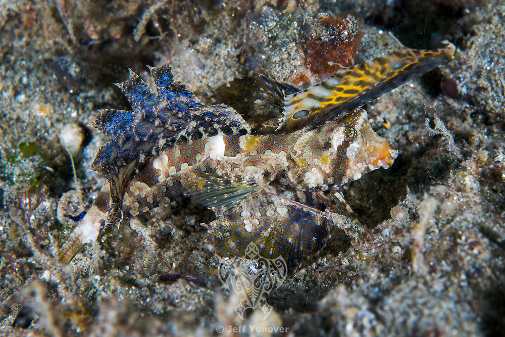 Orange &amp; Black Dragonet displays its colorful dorsal fins<br /> <br /> Shot in Indonesia