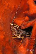 rock lobster, Jasus lalandii, False Bay, Cape of Good Hope, South Africa
