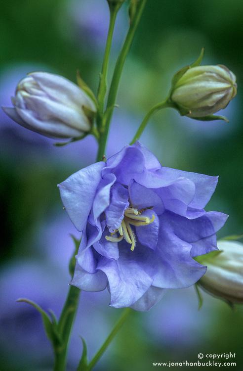 Campanula persicifolia 'Bennett's Blue'. Bellflower