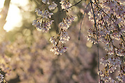 Spring cherry blossoms.