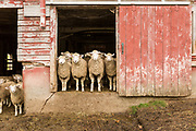 Sheep at Jericho Settlers Farm. Food Photography by VT Photographer Oliver Parini.