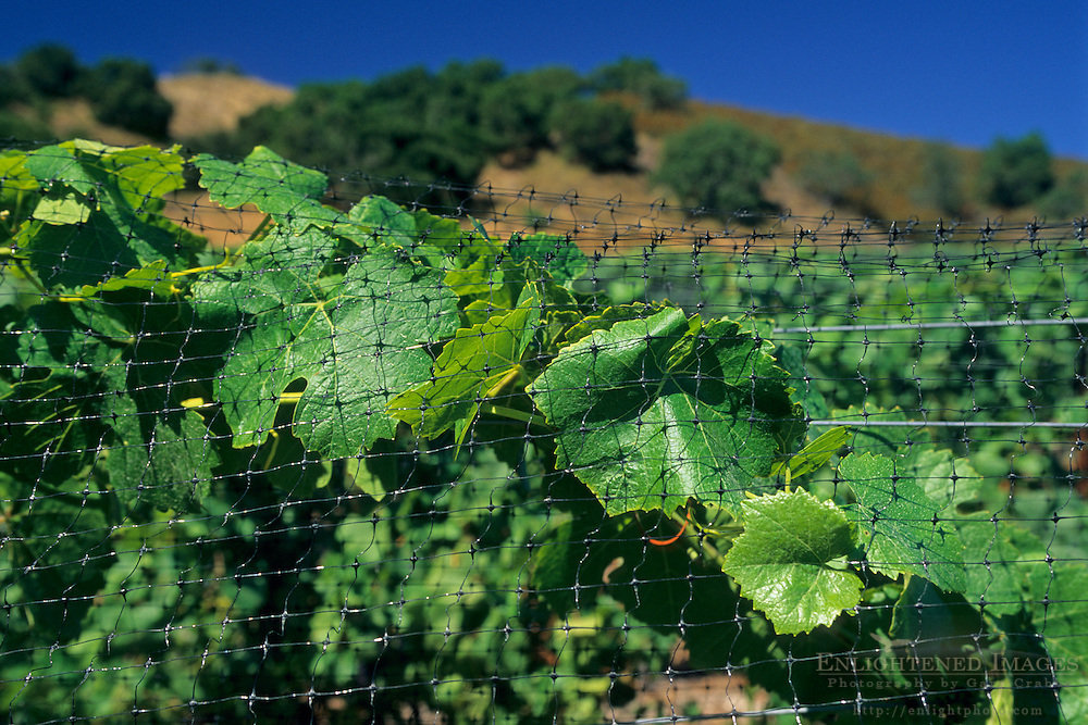Protective netting over grape vines, Galante Vineyards, above Carmel Valley, Monterey County, California